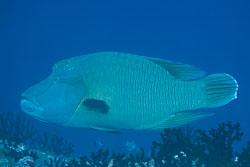 BD-150421-Maldives-7499-Cheilinus-undulatus.-Rüppell.-1835-[Humphead-wrasse.-Napoleonfisk].jpg